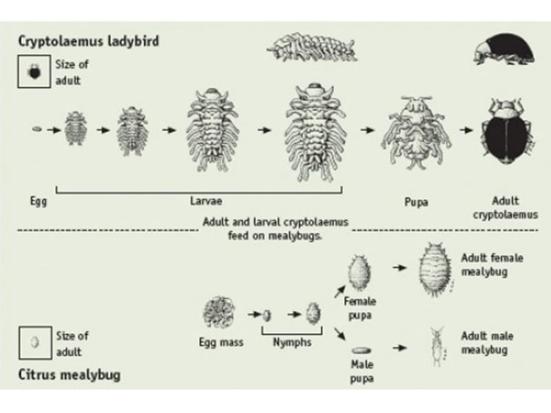 Life cycle diagram of citrus mealybug and cryotolaemus Chris Lambkin life cycle diagram of citrus mealybug and cryotolaemus (chris